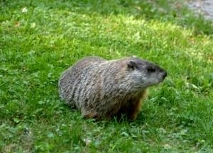 Omega Groundhog